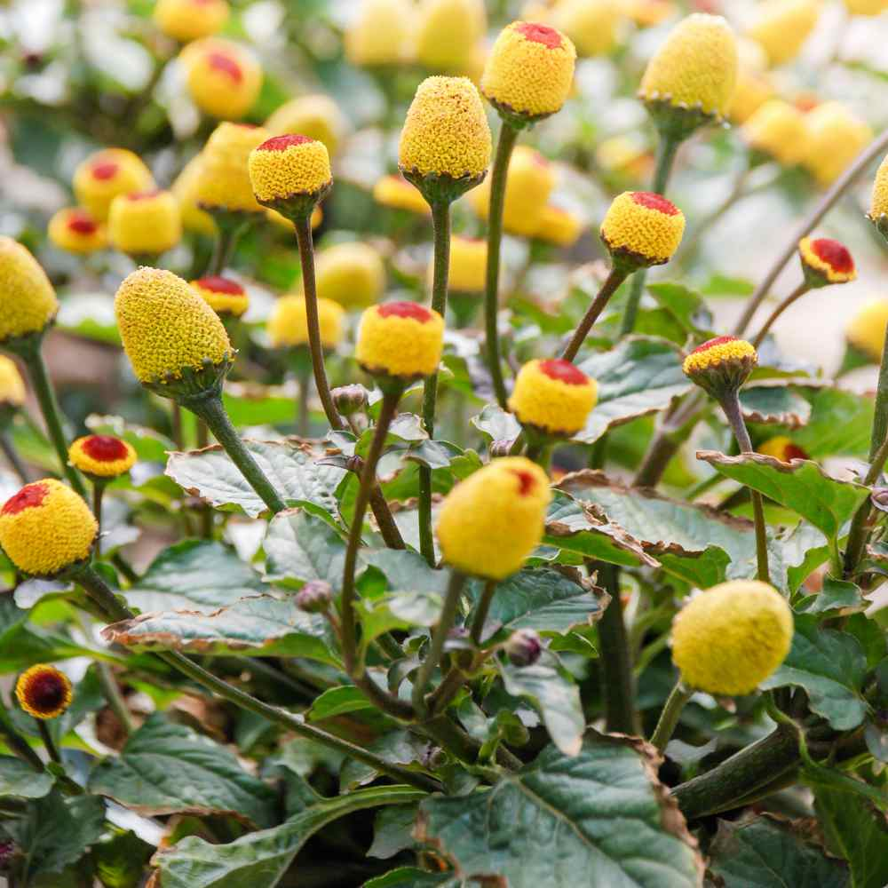 Toothache Plant Spilanthes