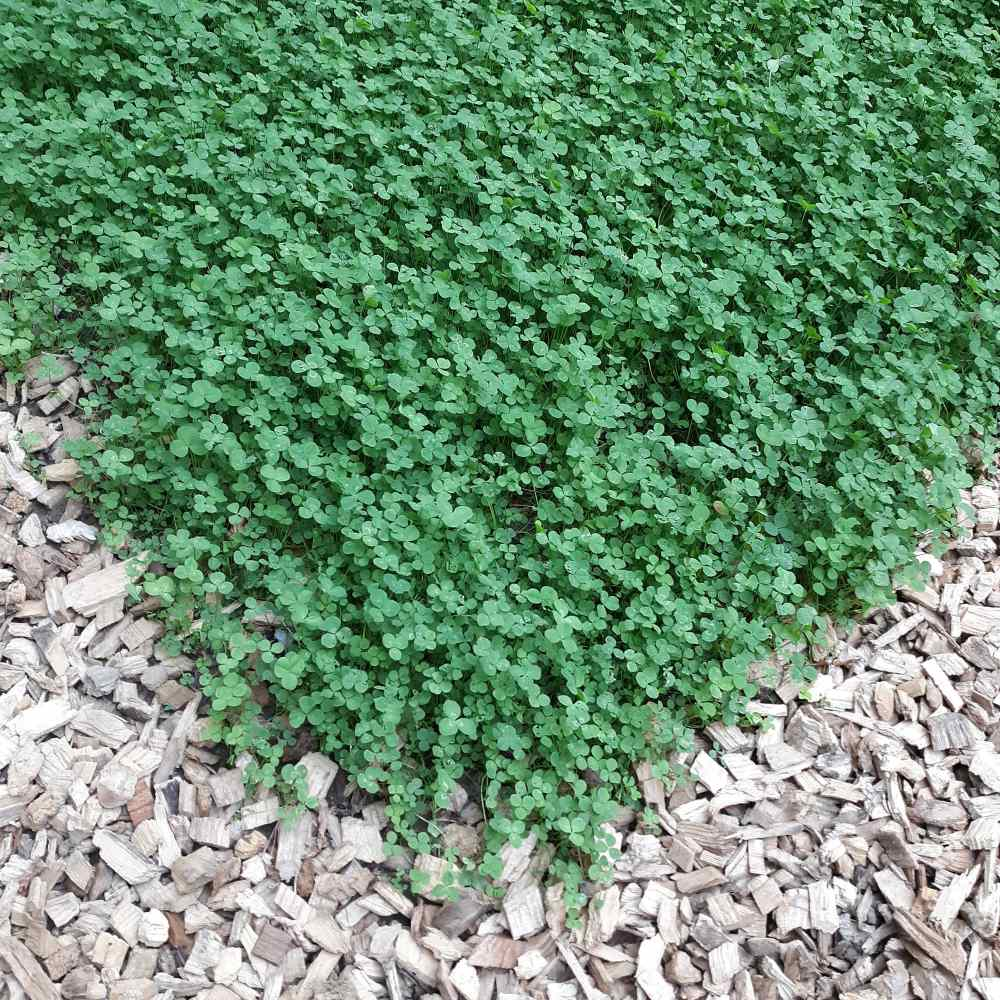 easy to grow clover lawn