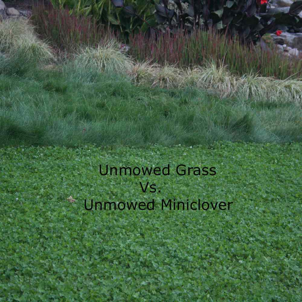 unmowed miniclover versus unmowed grass