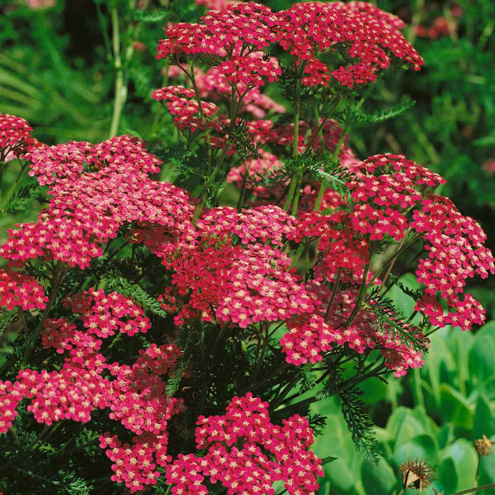 200+Seeds Yarrow Cerise Queen Flower Seeds Achillea millefolium