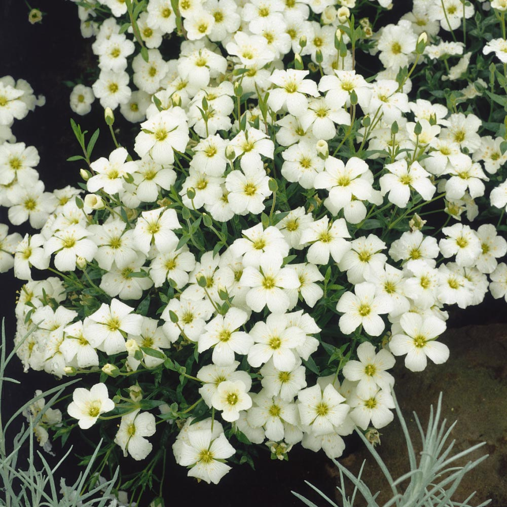 Arenaria Montana Ground Cover