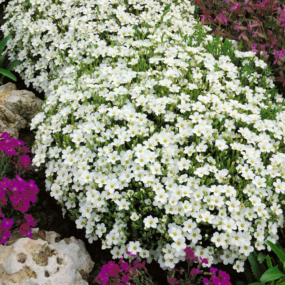 Arenaria Montana Ground Cover Plants