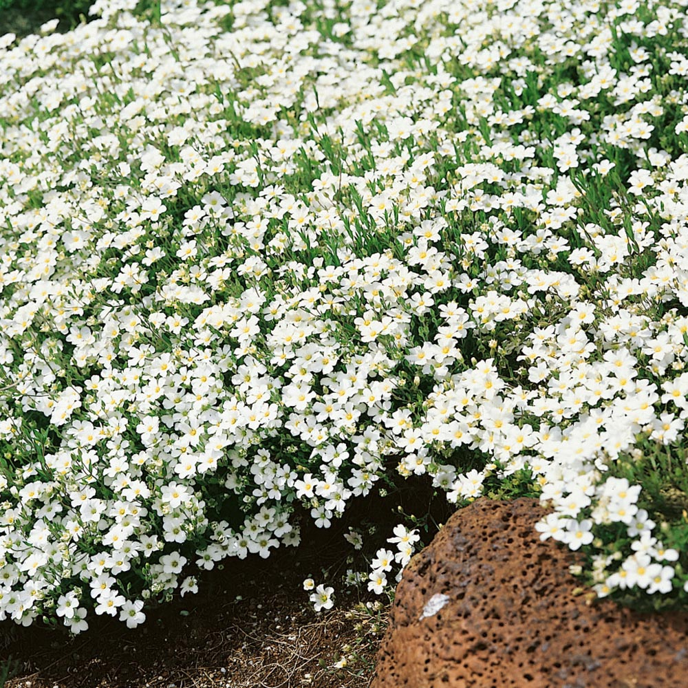 Arenaria Montana Low Growing Plants