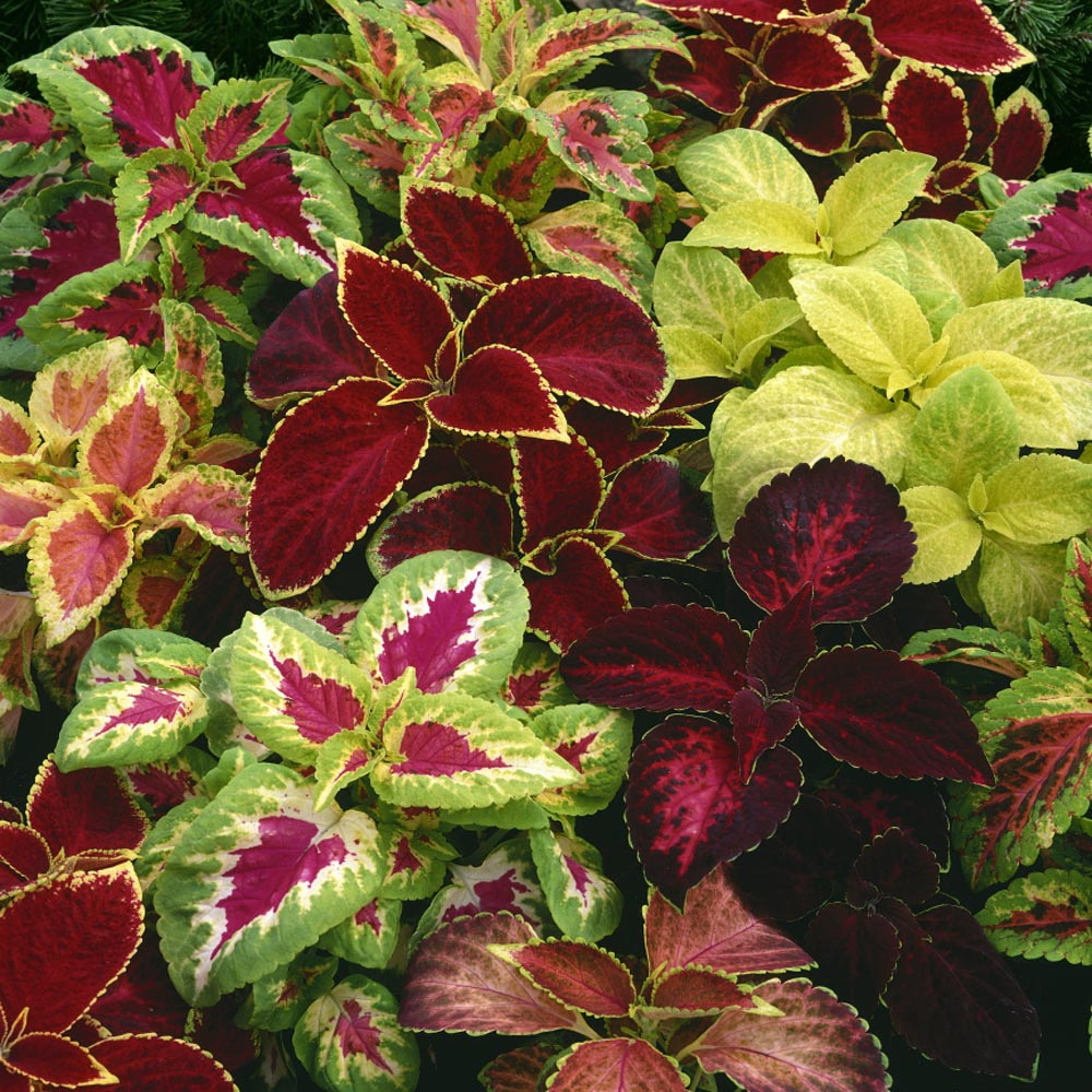 Best Mix Mixed Annual Flowers Seeds 2000 Rainbow of Colours in your Garden