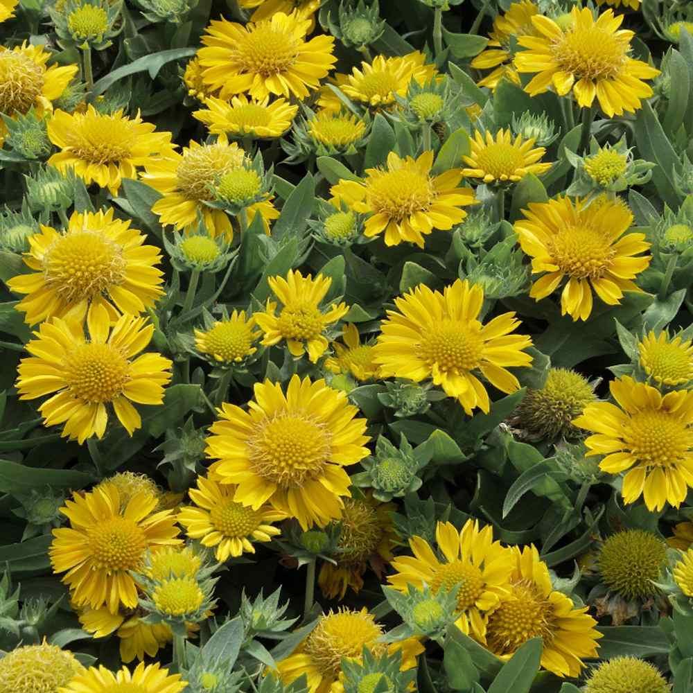 50/_Seeds Gaillardia aristata BremenIndian Blanket Flower