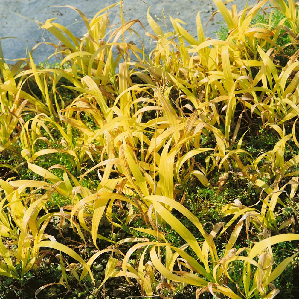 Perennial Golden Millet Grass