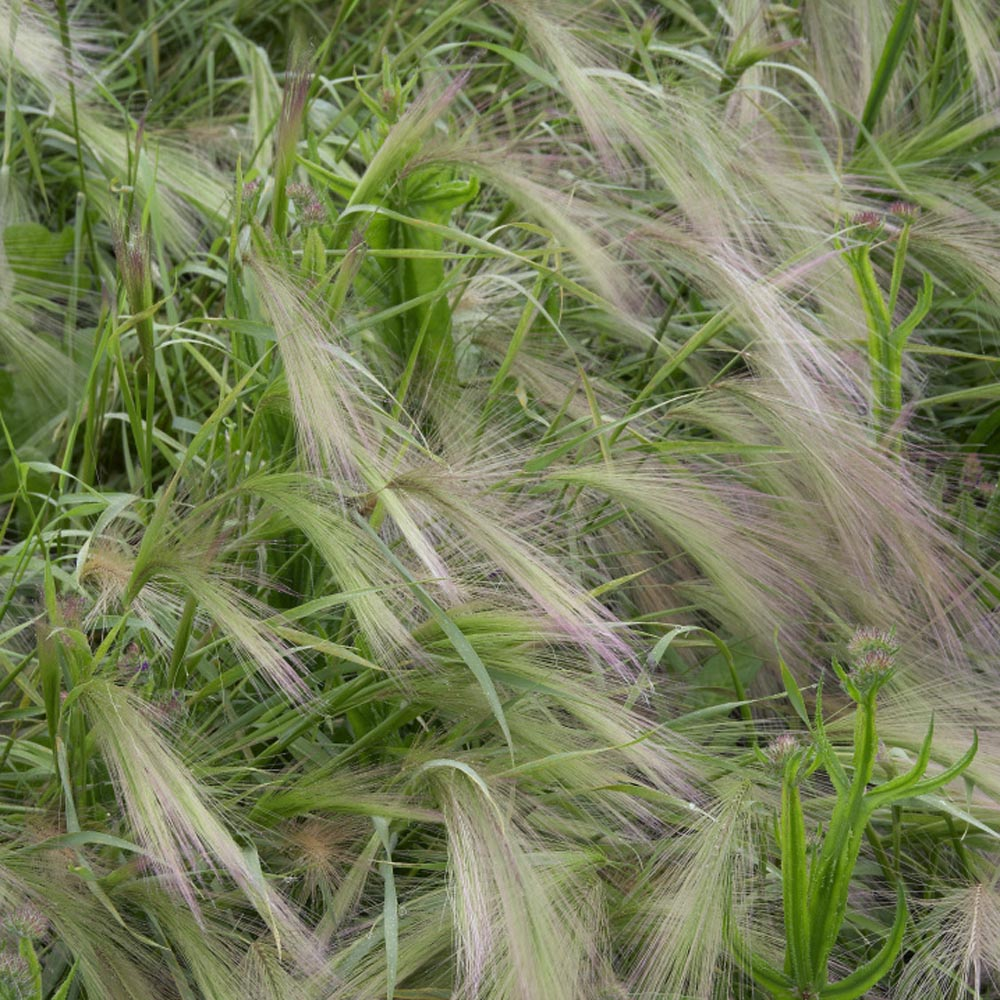 Hordeum Ornamental Grasses