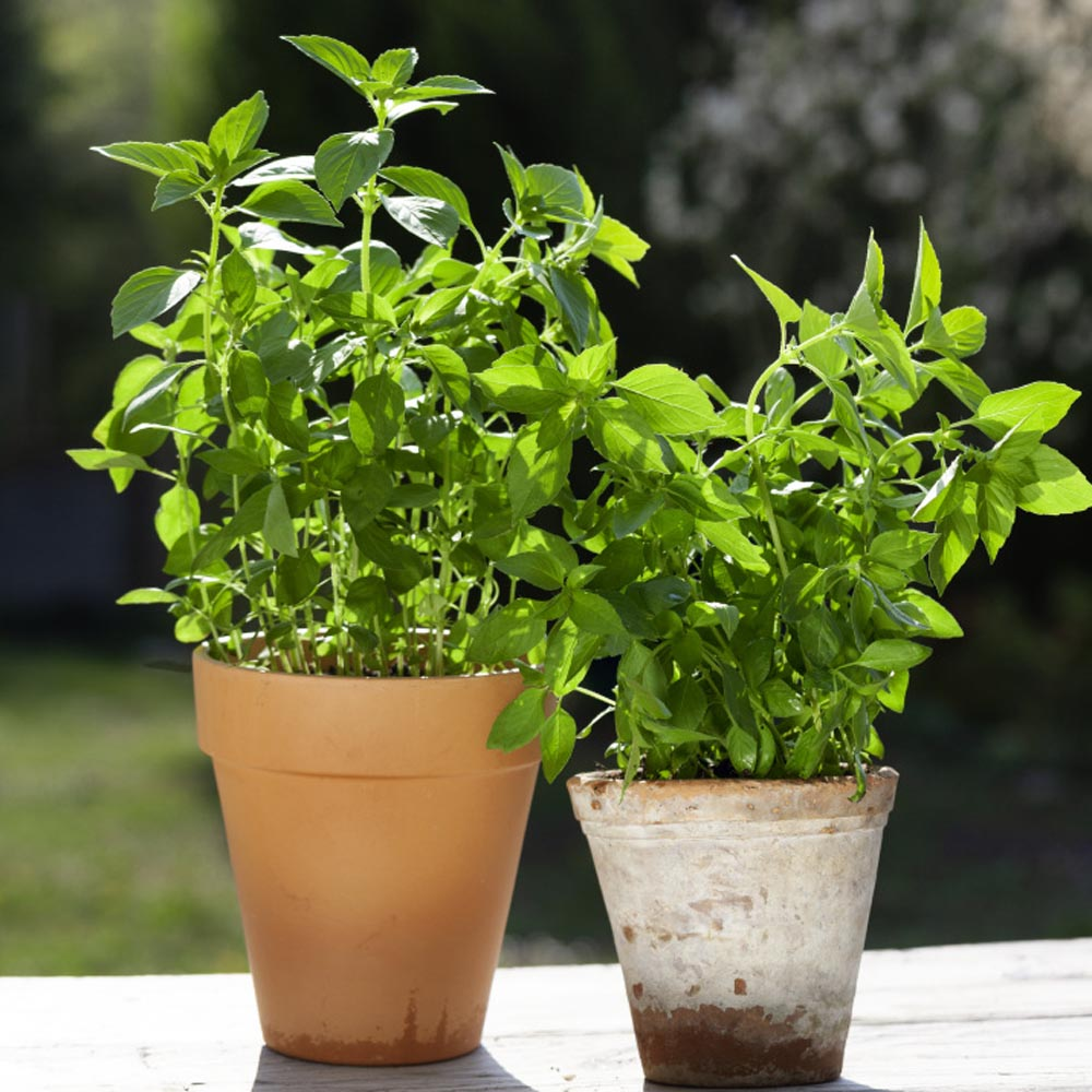 Basil Seeds Lemon Basil Herb Seed