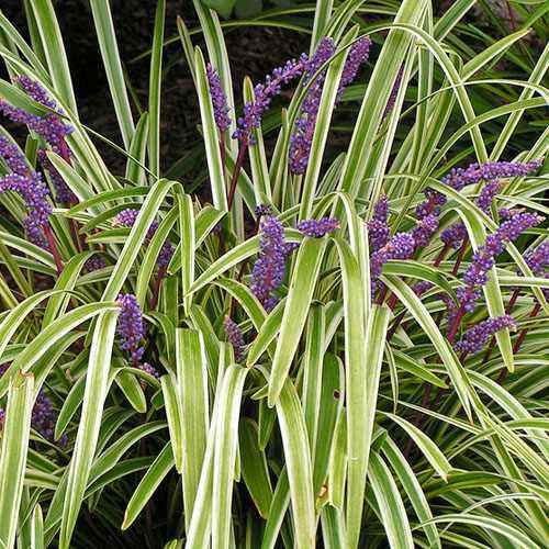 Monkey grass seeds lily turf ornamental grass seed monkey grass liriope muscari if you need a decorative border or edging plant start monkey grass seeds and enjoy this popular ornamental grass plant workwithnaturefo