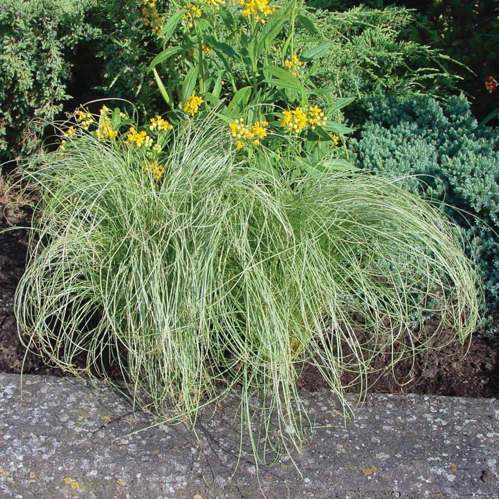 Carex Seeds - Carex Comans Amazon Mist Ornamental Grass Seed