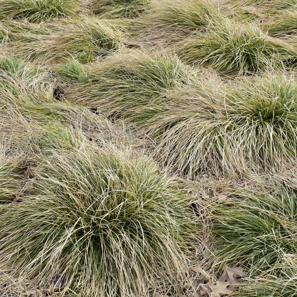 Carex Seeds Frosted Curls Ornamental Grass Seed