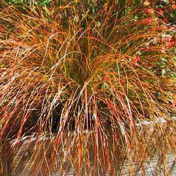 Orange Sedge Ornamental Grass Carex seed orange sedge ornamental grass seeds carex carex testacea prairie fire if you are fond of adding different colors and textures to your garden this carex seed is a must have workwithnaturefo