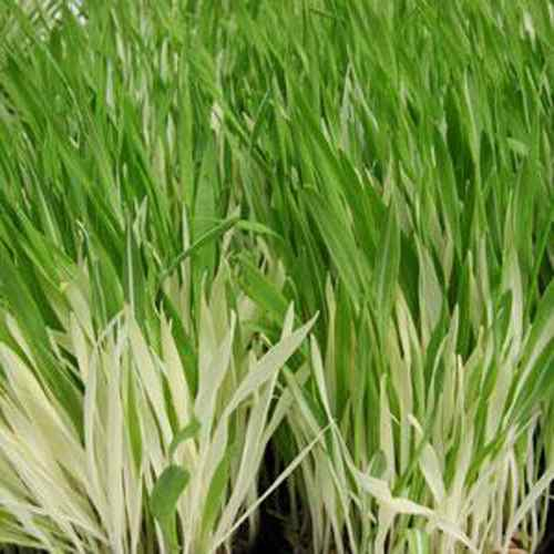 Cat Grass Seed For Variegated Plants
