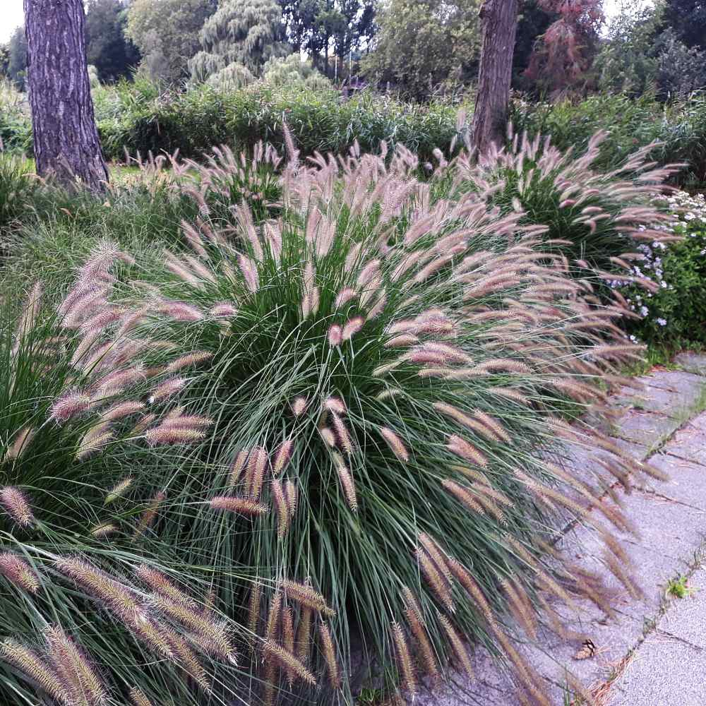 Fountain Grass Seed Pennisetum Alopecuroides Ornamental Grass Seeds