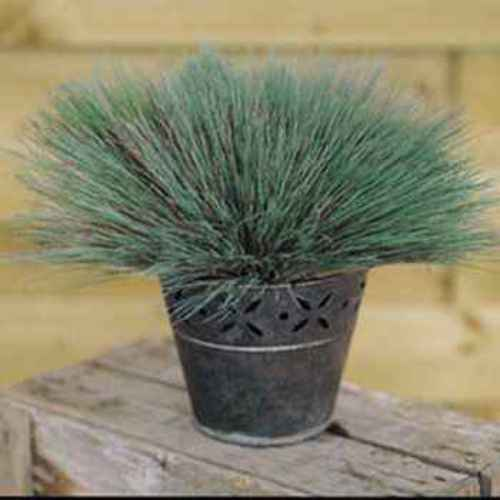 Corynephorus seeds corynephorus canescens spiky blue for Spiky ornamental grass