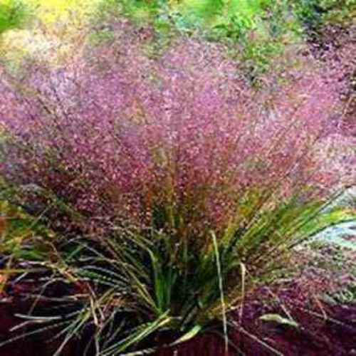 Love grass seeds eragrostis spectabilis ornamental grass seed love grass purple workwithnaturefo