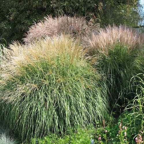 Gracillimus Ornamental Grass Miscanthus sinensis seeds chinese silver ornamental grass seed miscanthus sinensis grass eulalia workwithnaturefo