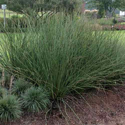 Juncus pallidus javelin seeds giant rush ornamental for Giant ornamental grass