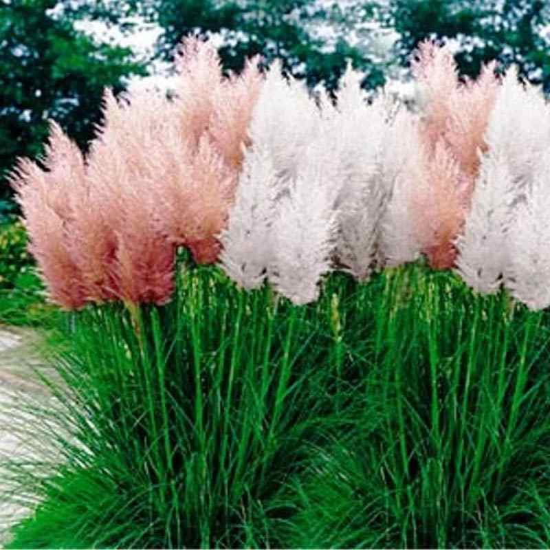 Pampas grass seed mix cortaderia selloana ornamental for Tall perennial grasses
