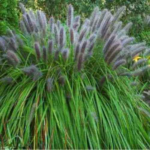 Black fountain grass pennisetum alopecuroides viridescens for Hardy fountain grass