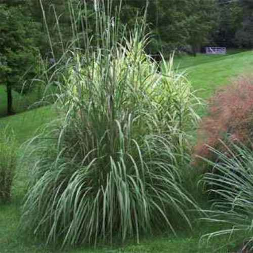 Plume grass seed ravenna ornamental grass seeds for Very tall ornamental grasses
