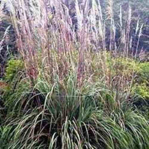 Plume grass seed ravenna ornamental grass seeds for Hardy tall ornamental grasses