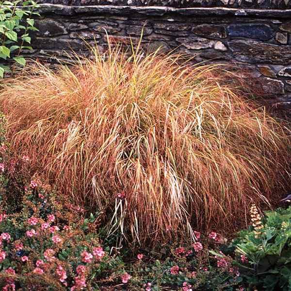 Stipa arundinacea seed pheasant tails ornamental grass seeds stipa arundinacea pheasant tails workwithnaturefo