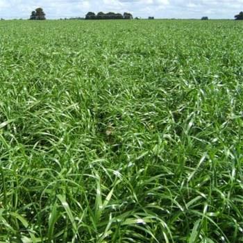 Abundant Annual Ryegrass