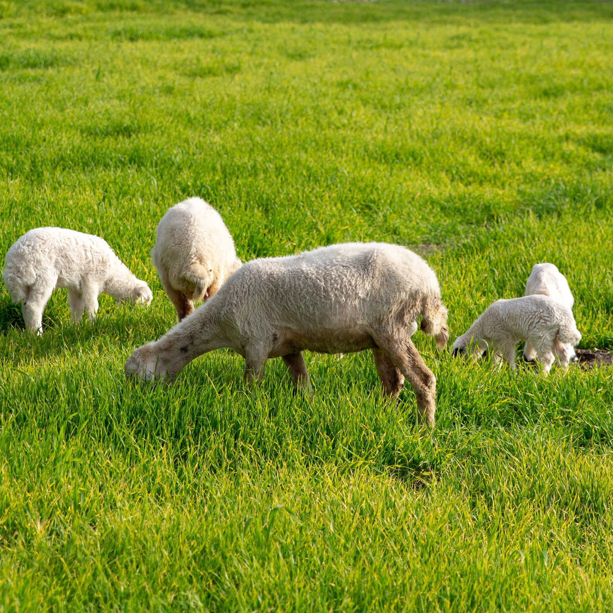 Sheep & Goat Pasture Seed