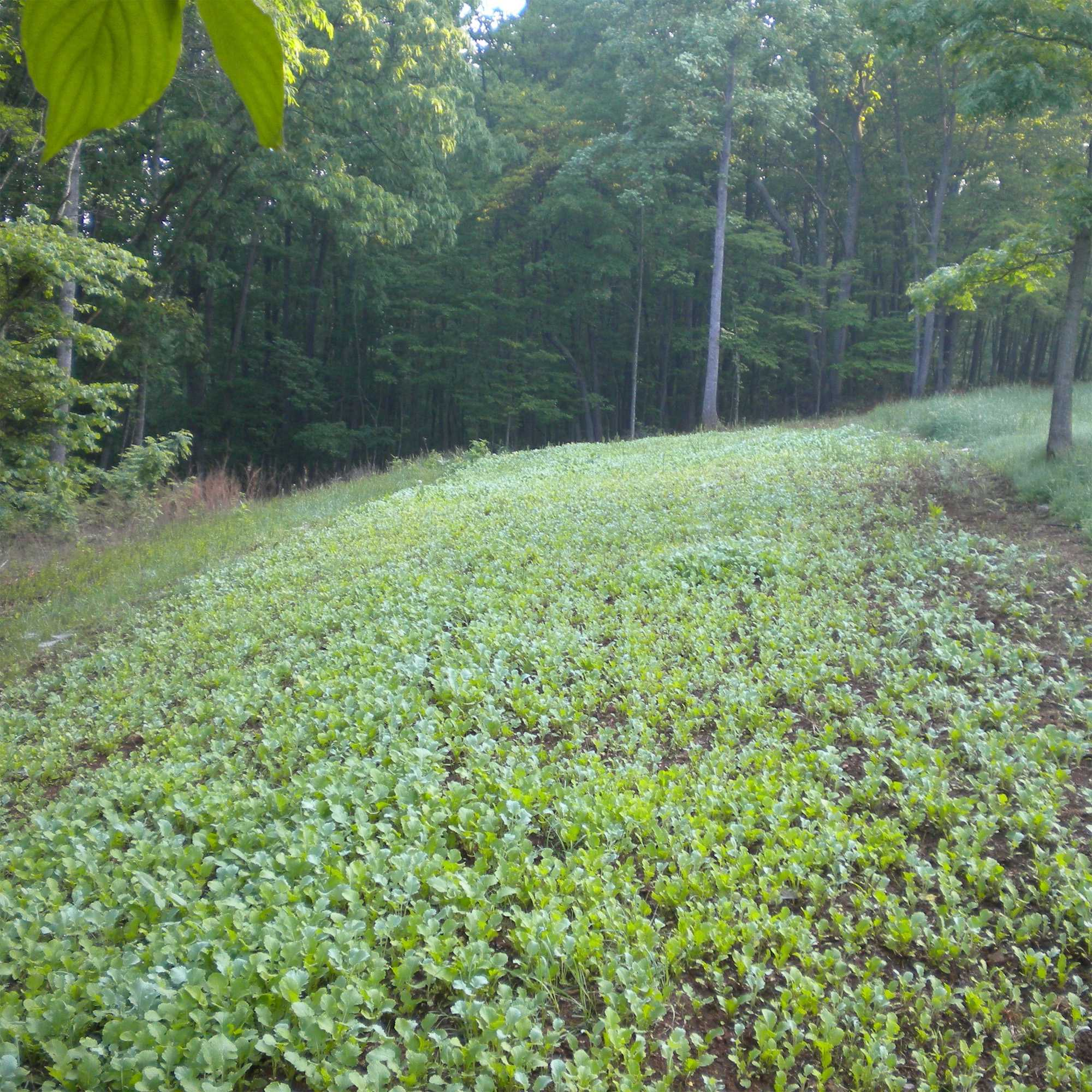 Sweet Spot Southern Deer Food Plot Forage