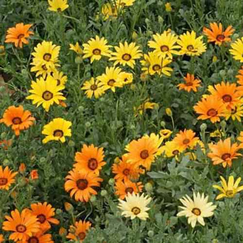 African Daisy Wildflower Seed