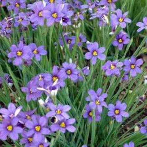 Blue eyed grass seeds blue eyed ornamental grass seed for Ornamental grass with blue flowers