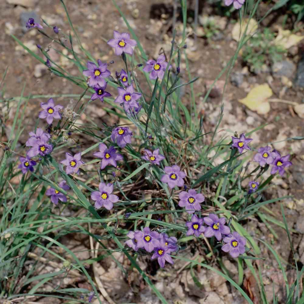 Blue-eyed Grass Flowers