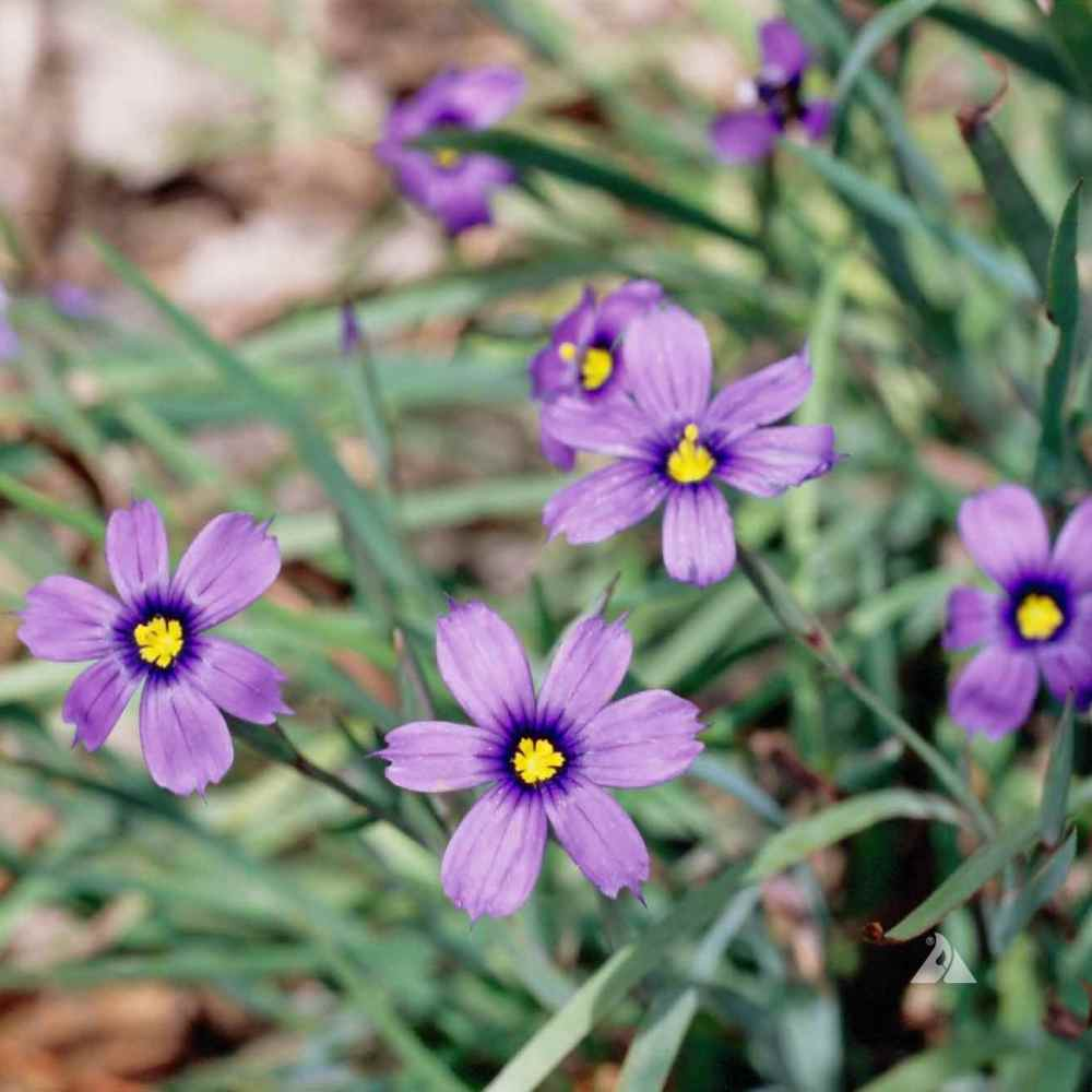 Blue-eyed Grass Plant