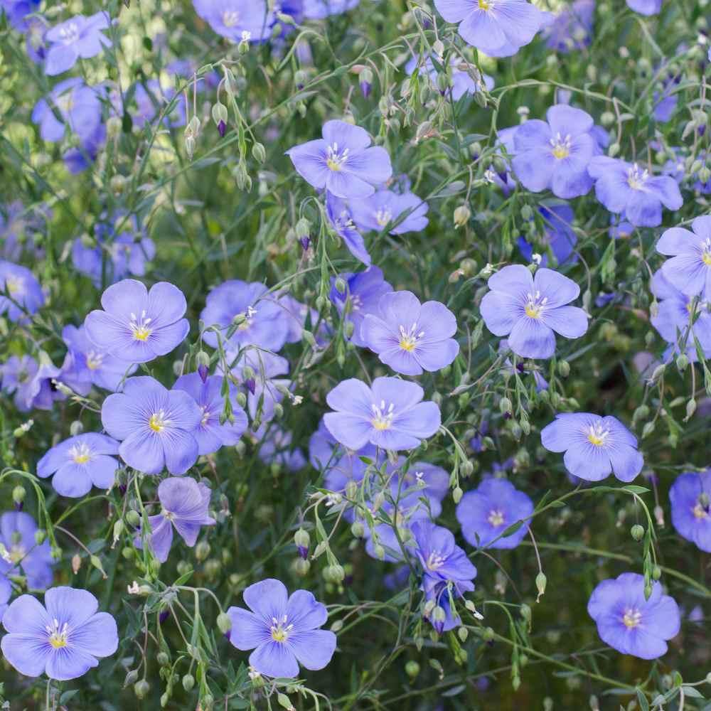Blue Flax Seeds Linum Perenne Wildflower Seed