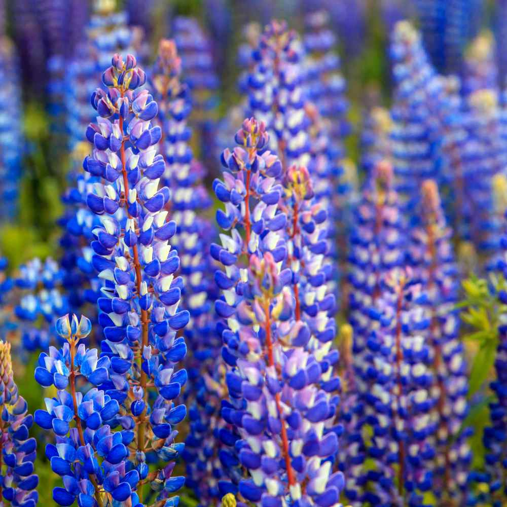 blue lupine flowers