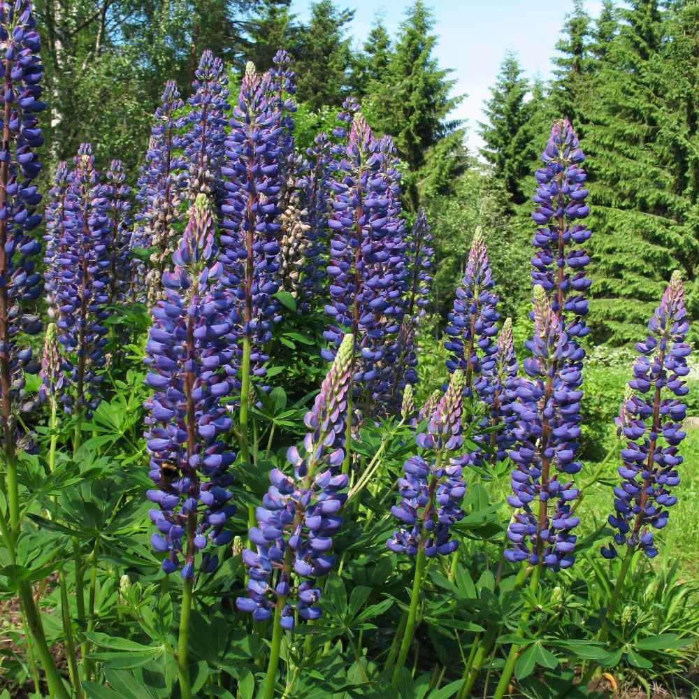 Perennial Blue Lupine Flowers