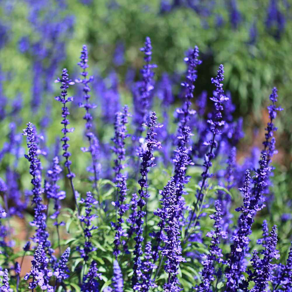 Blue Sage (Salvia) Wildflower Seed