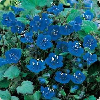 California Bluebell Wildflower Seed