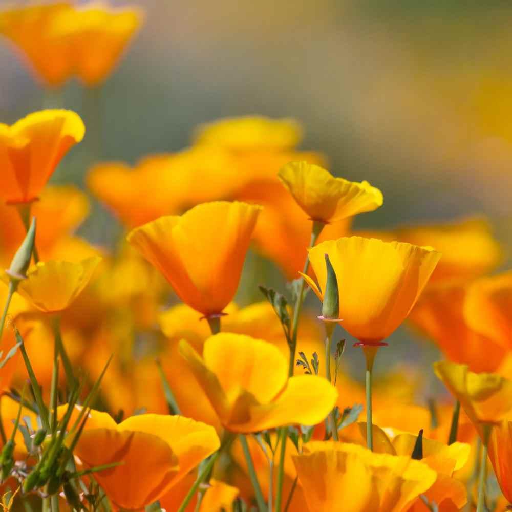 California Poppy Wildflower Seeds