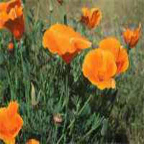 Achillea millefolium var occidentalis Western White Yarrow