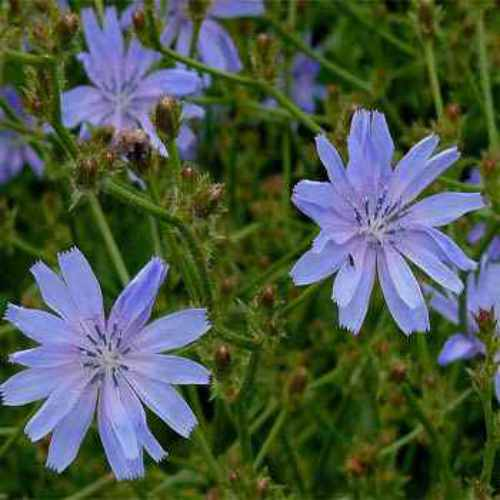 Chicory Wild Flower Seed