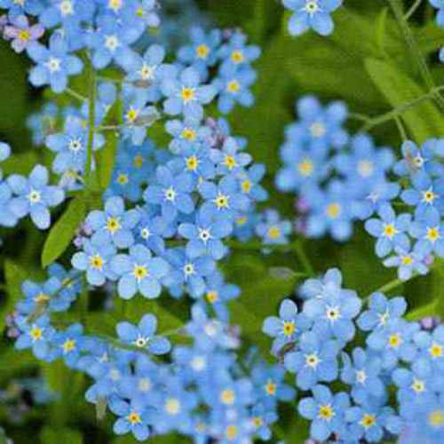 Chinese Forget-Me-Not Wildflower Seed