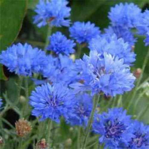 Cornflower Wild Flower Seeds
