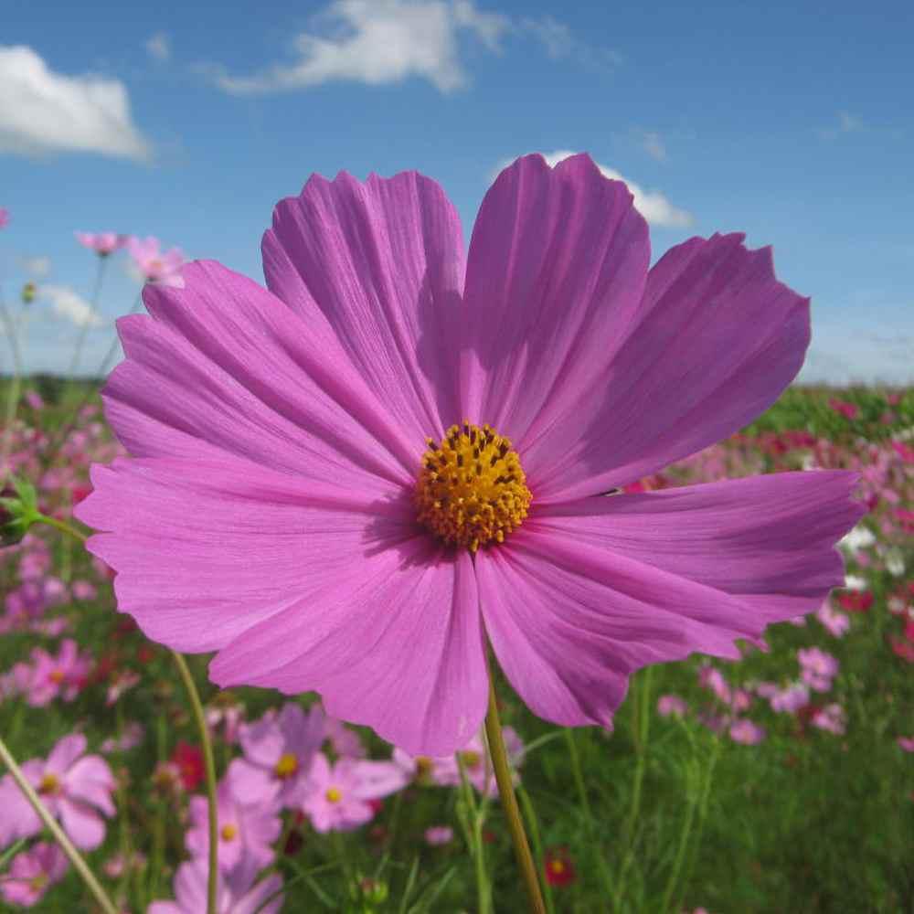 Cosmos Seed Cosmos Bipinnatus Sensation Pinkie Flower Seeds