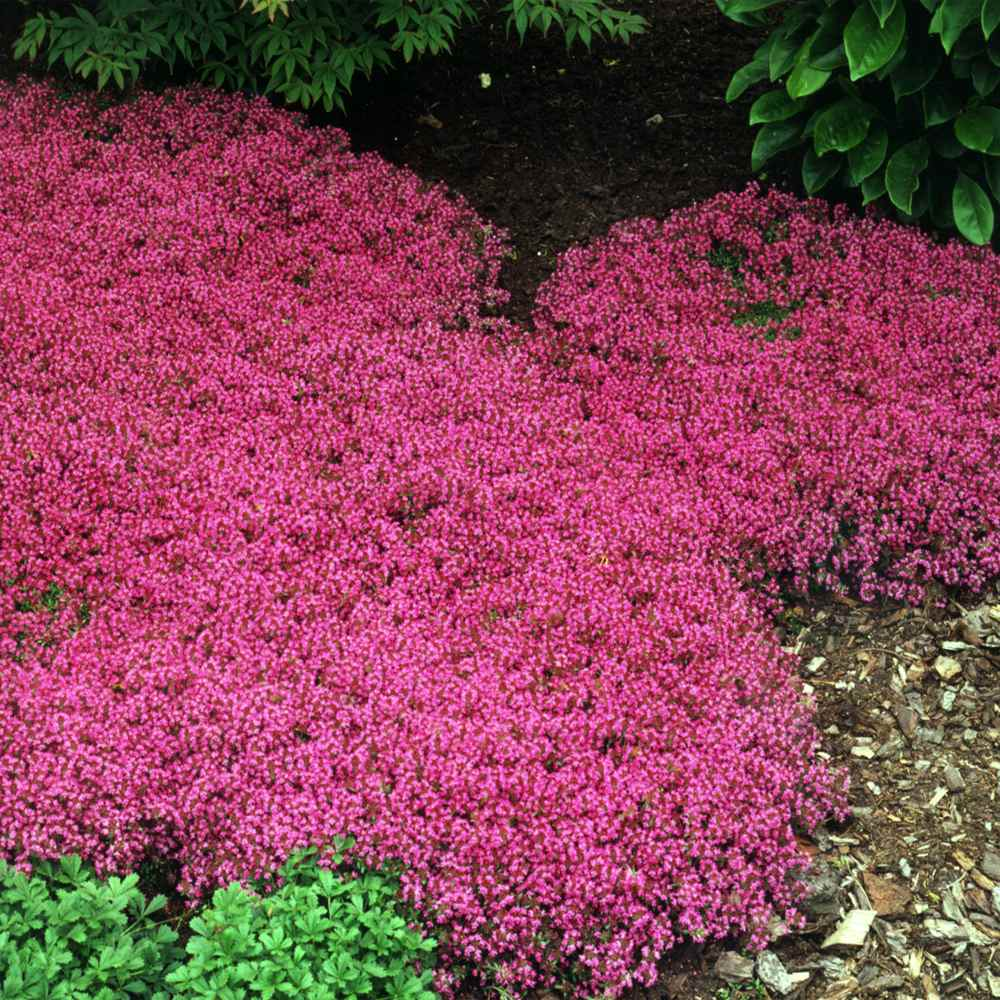 Creeping thyme seeds magic carpet thymus serpyllum for Best low growing groundcover for full sun
