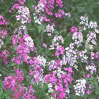 Dame S Rocket Hesperis Matronalis Sow Seeds In The Spring For A Perennial That Will Flower Profusely Is Commonly