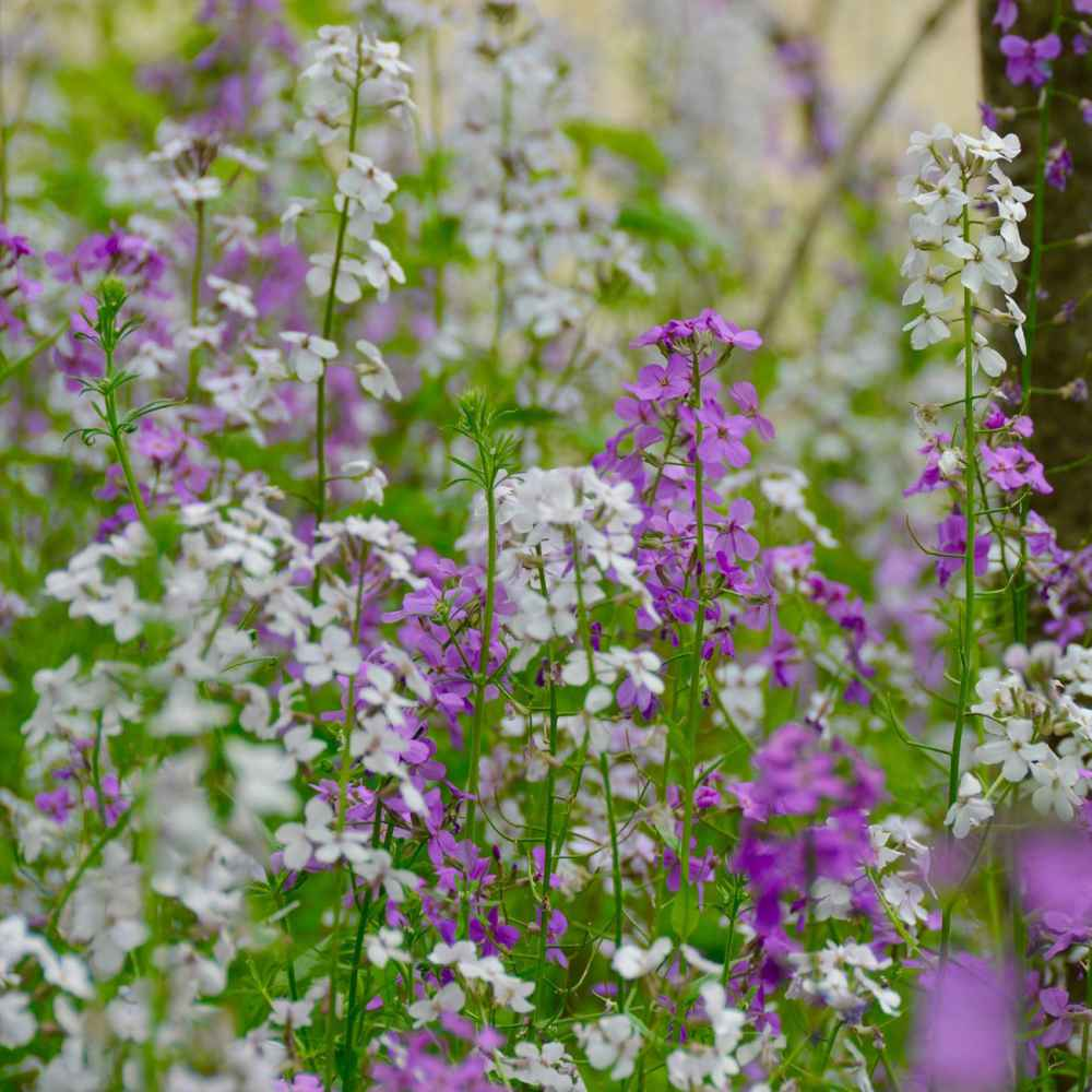 Dame's Rocket Wildflowers