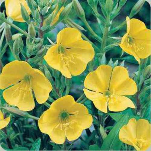 Evening Primrose Wildflowers