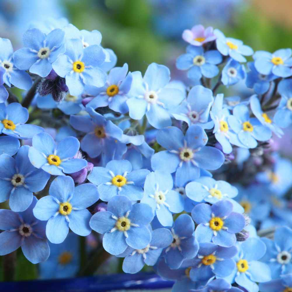 how to sow forget me not seeds